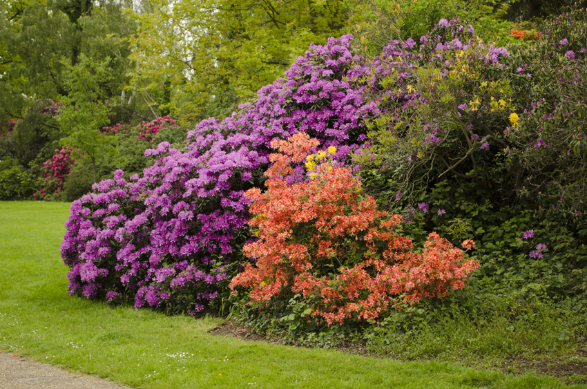 Flowering rhododendrons in several different colours