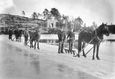 Horse-drawn ploughs being used to cut ice in a lake